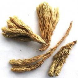Плаун баранец трава