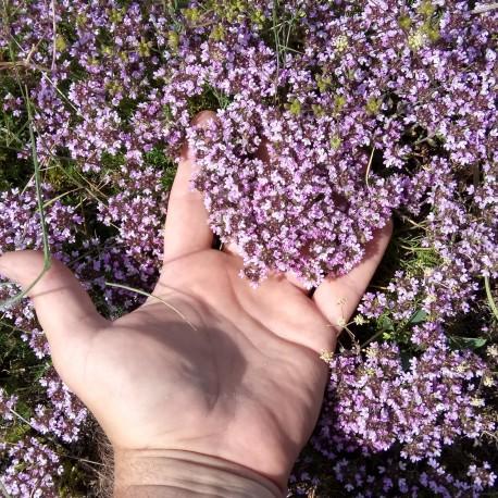 Чабрец (Тимьян) цвет