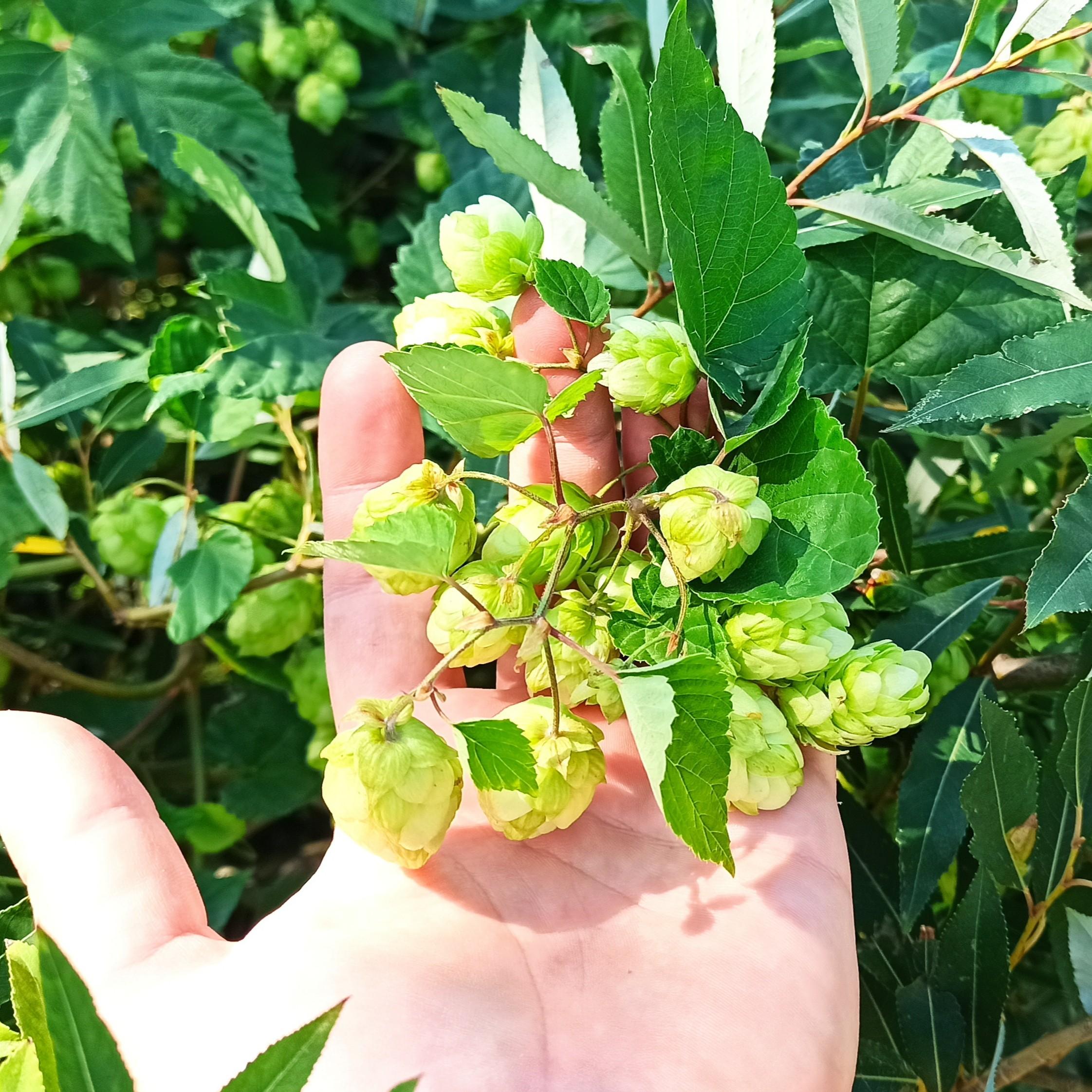 Шишки хмеля купить шмель, крымские травы, krym-trava.ru Крым-трава